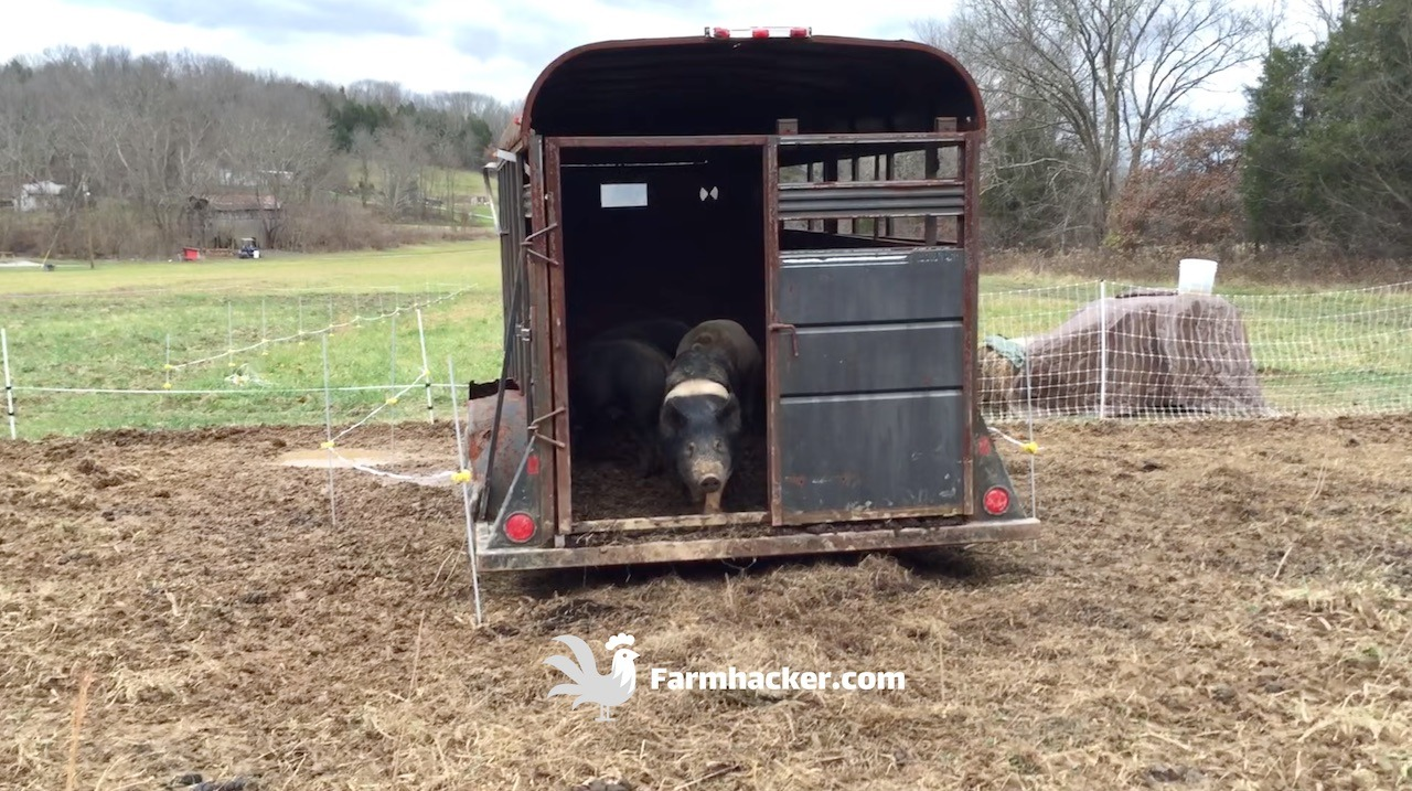 Loading Pigs Into a Trailer
