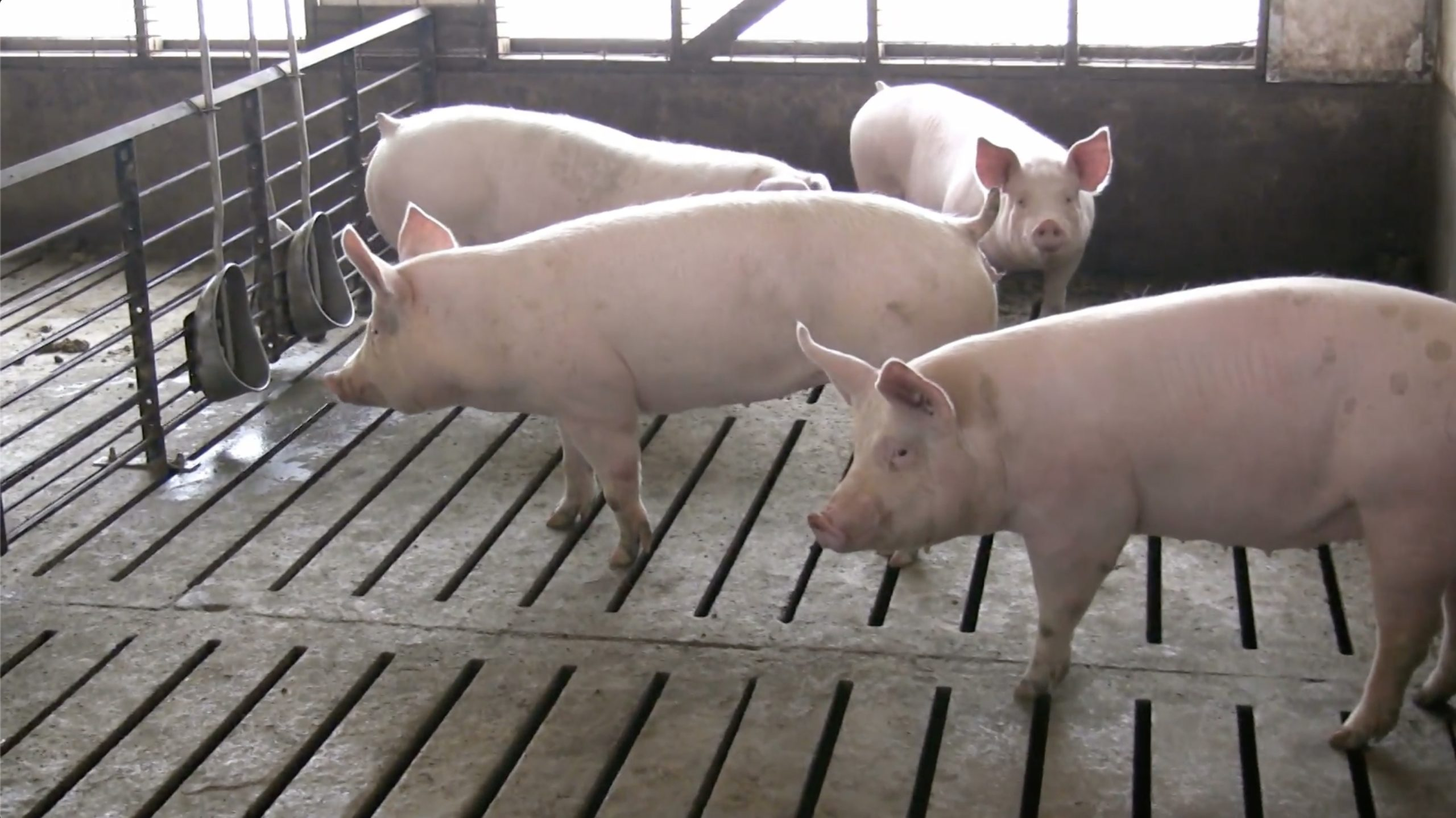 Pigs in a Concentrated Animal Feeding Operation or CAFO