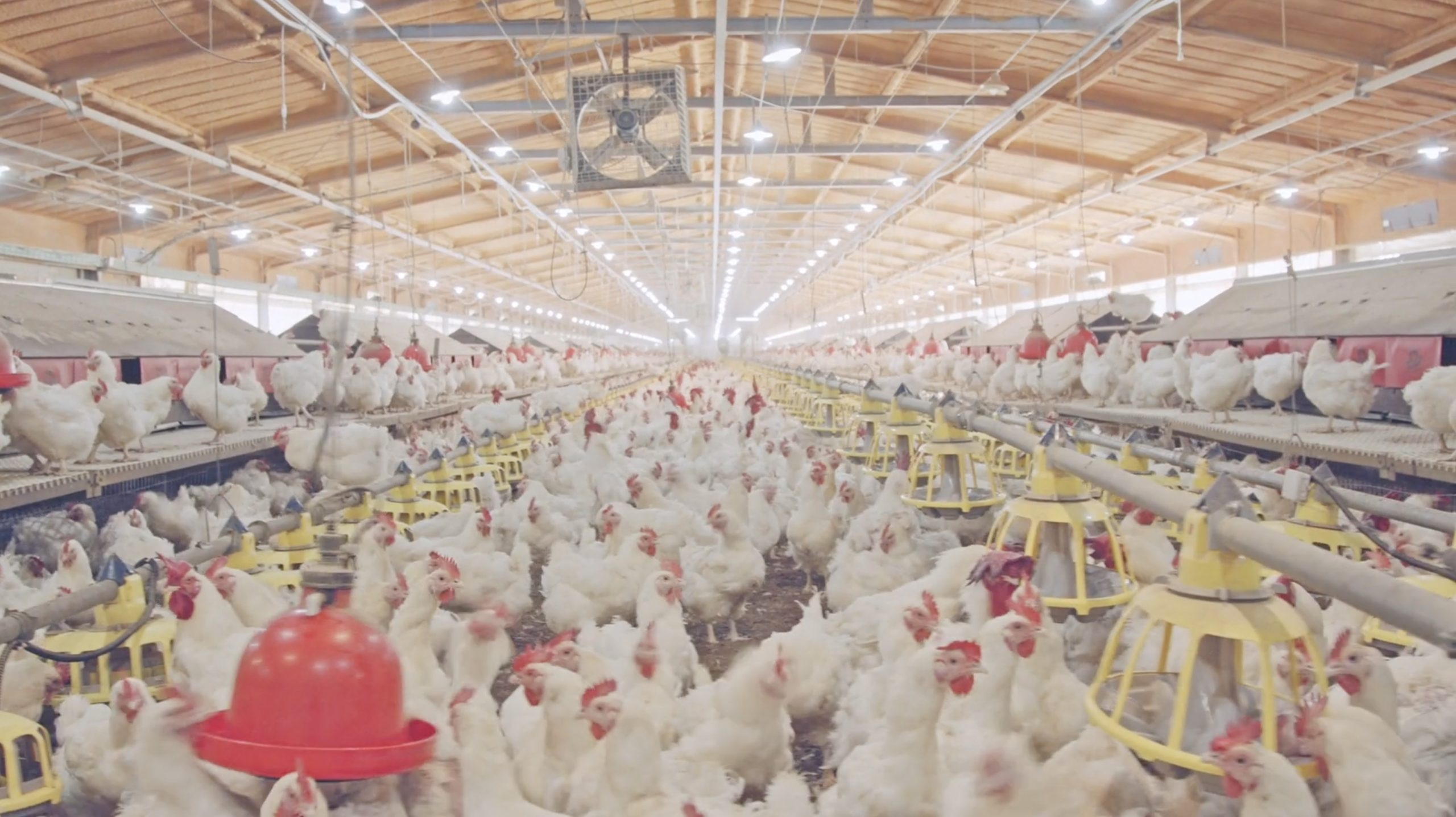 Chickens in a Concentrated Animal Feeding Operation or CAFO