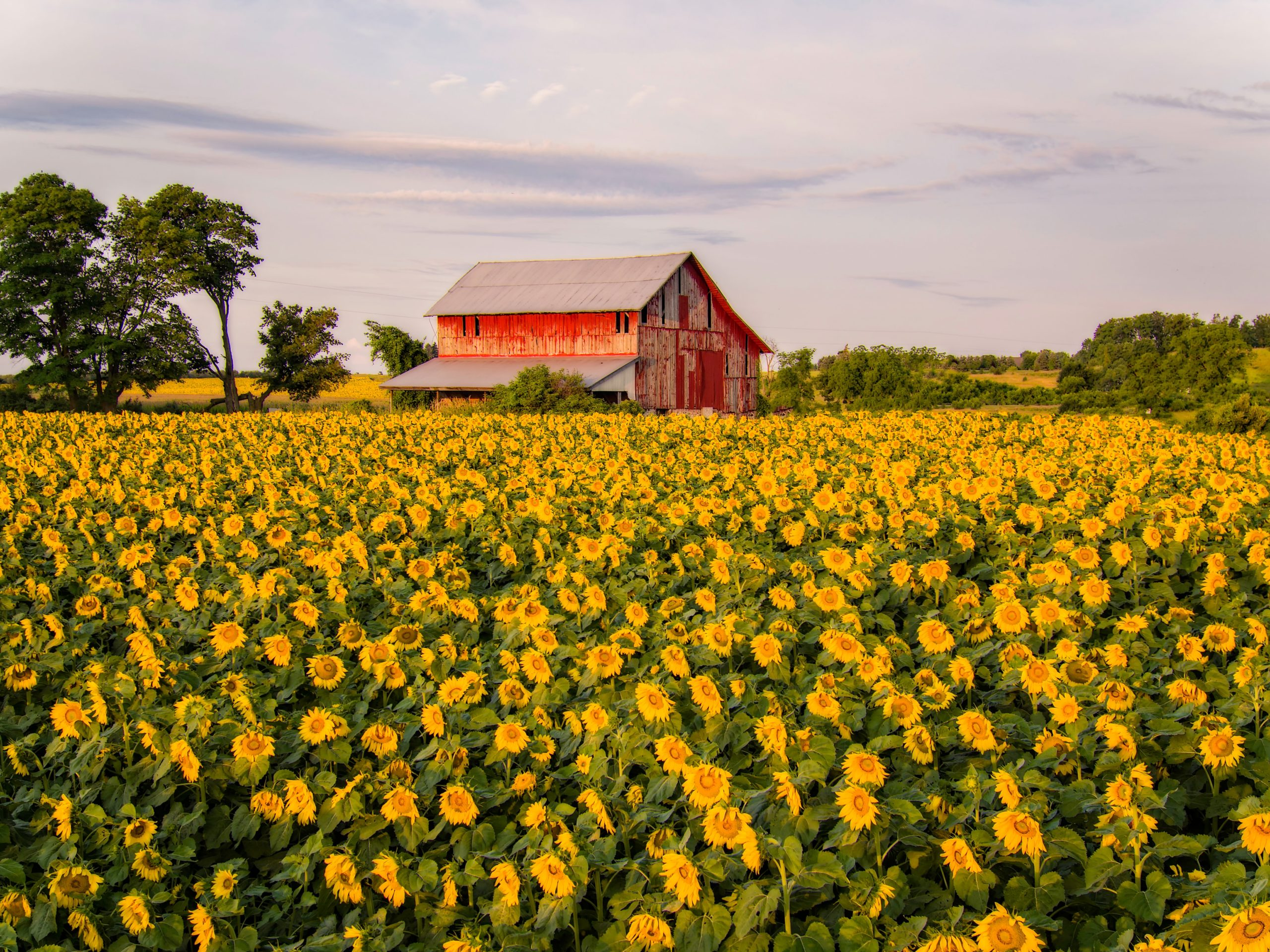 Beautiful Sunflowers in Front of a Red Barn - Farm Background Wallpaper Pictures