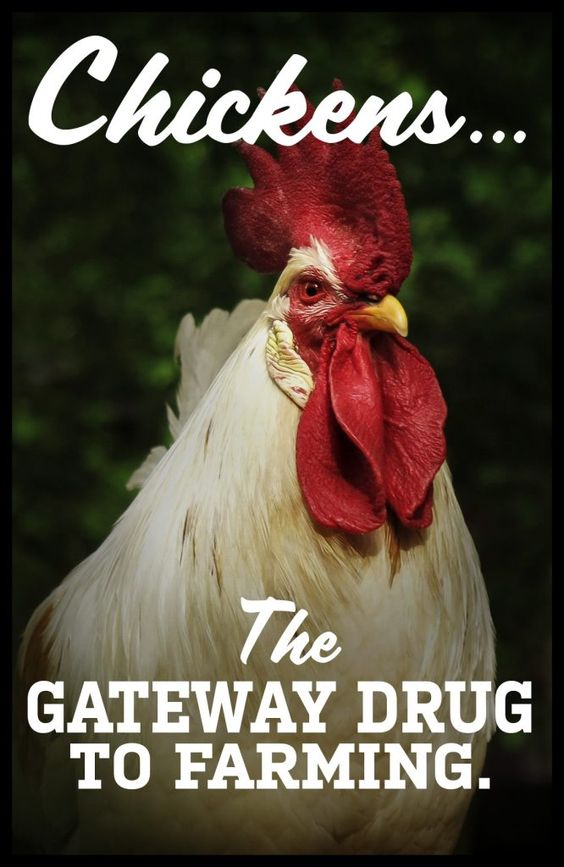 Chickens the Gateway Drug to Farming - Farming Memes - Rooster Image