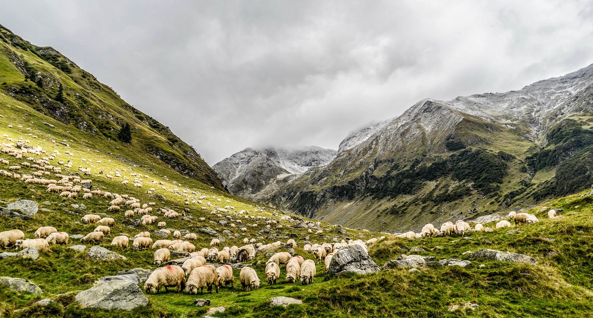 Flock of Sheep on a Mountain Hillside - Farm Background Wallpaper Pictures