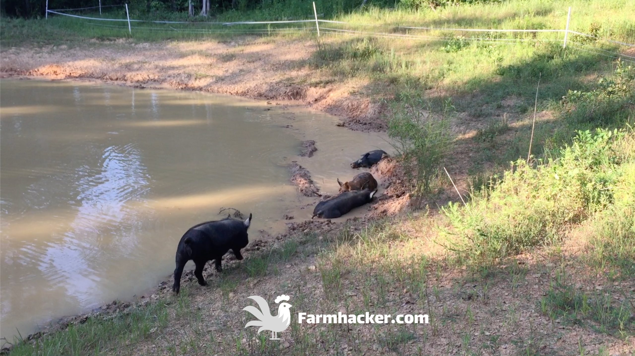 Pigs Laying in Our Pond - How to Seal a Pond Naturally With Pigs