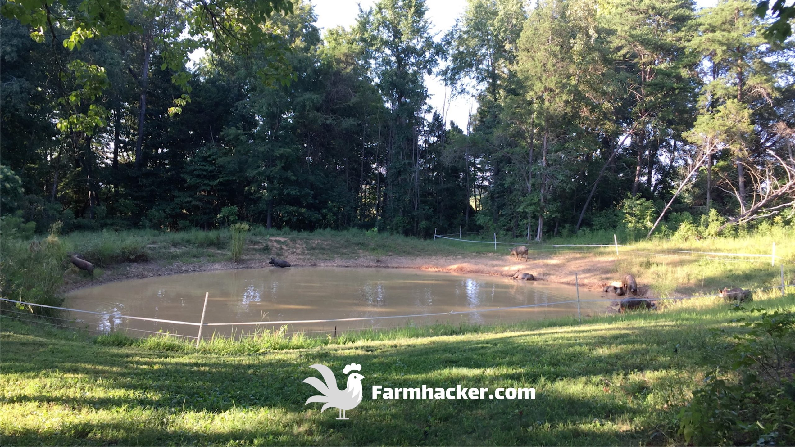 Polywire Fence Around the Pond to Keep the Pigs in - How to Seal a Pond Naturally With Pigs