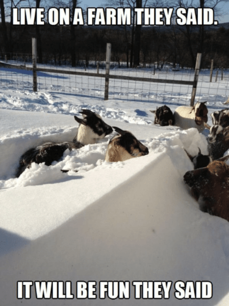 Live on a Farm They Said, It Will Be Fun They Said - Farming Memes - Goats Stuck in the Snow Image