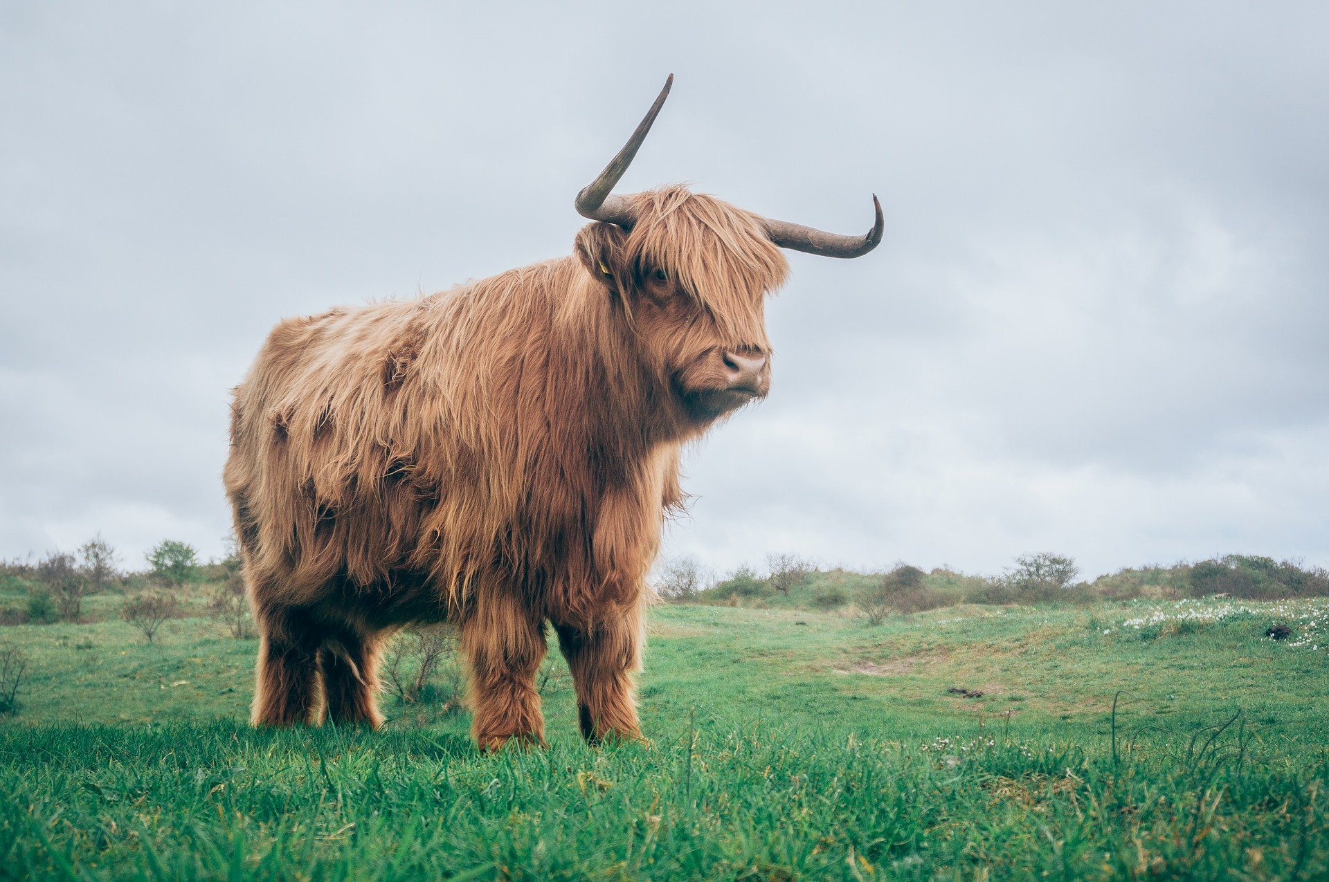Scottish Highland Bull Standing in a Pasture - Farm Background Wallpaper Pictures