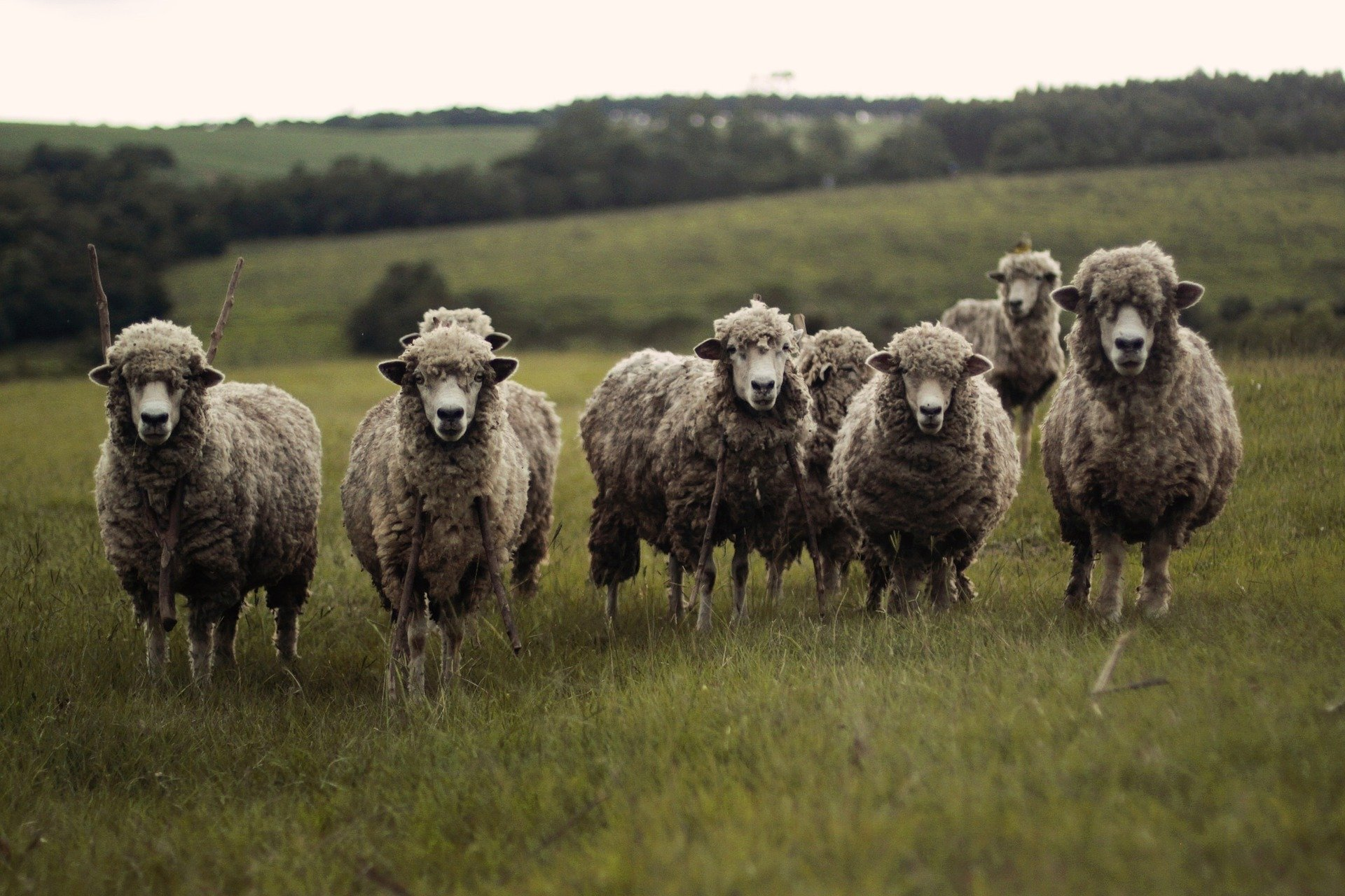 Sheep Standing in a Pasture - Farm Background Wallpaper Pictures