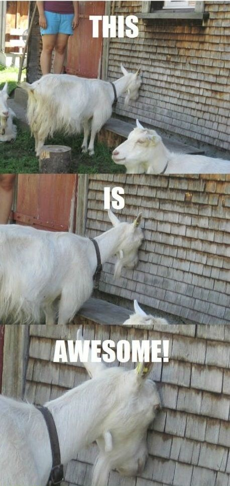 This Is Awesome - Farming Memes - Goat With Head Against the Wall Image