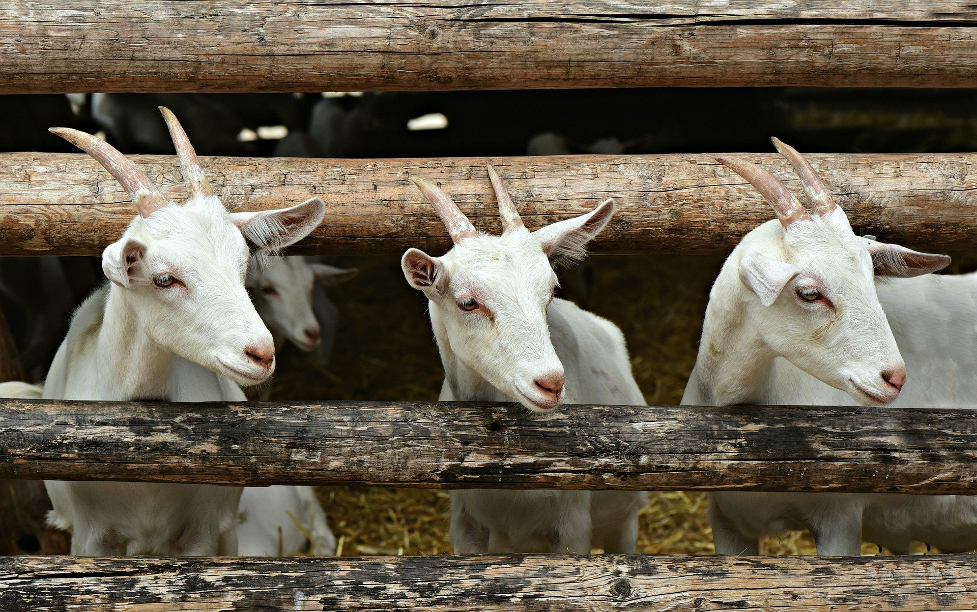 Three White Goats Looking Through a Fence - Farm Background Wallpaper Pictures