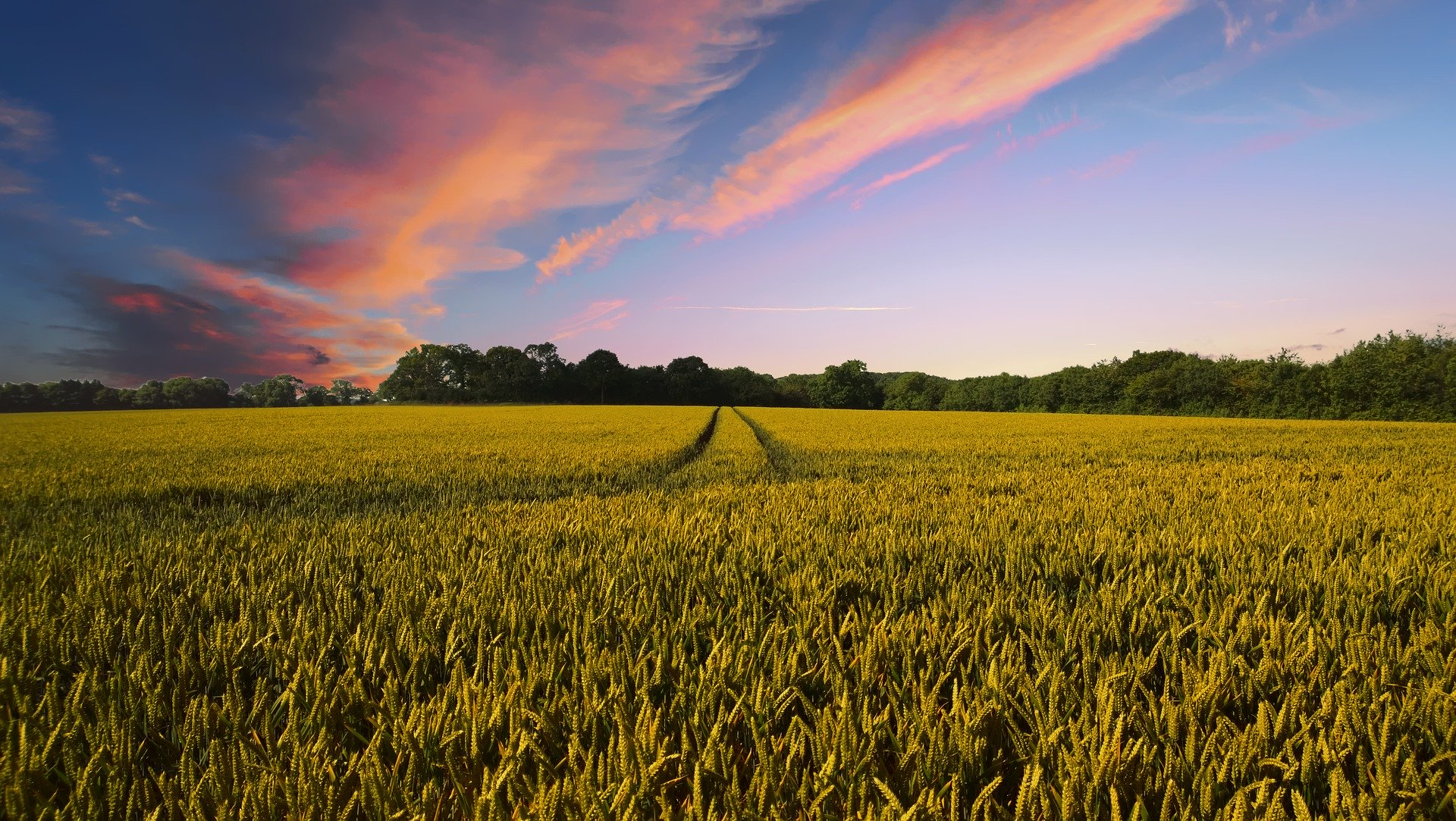 Wheat Field With a Beautiful Pink Sunset - Farm Background Wallpaper Pictures