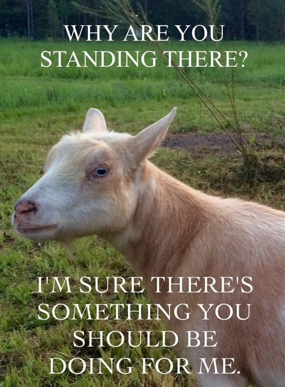 Why Are You Standing There, I'm Sure There's Something You Should Be Doing for Me - Farming Memes - Goat Image