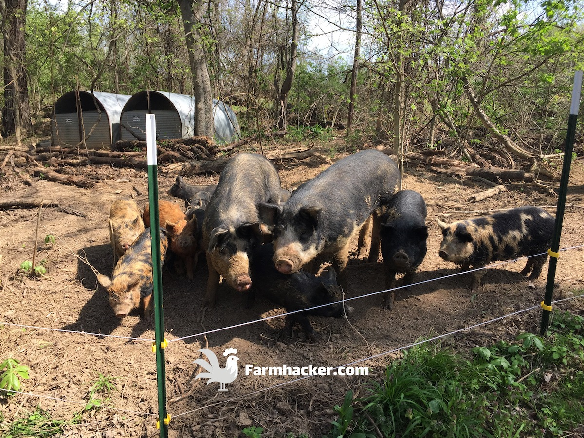 Pigs Waiting to Be Fed