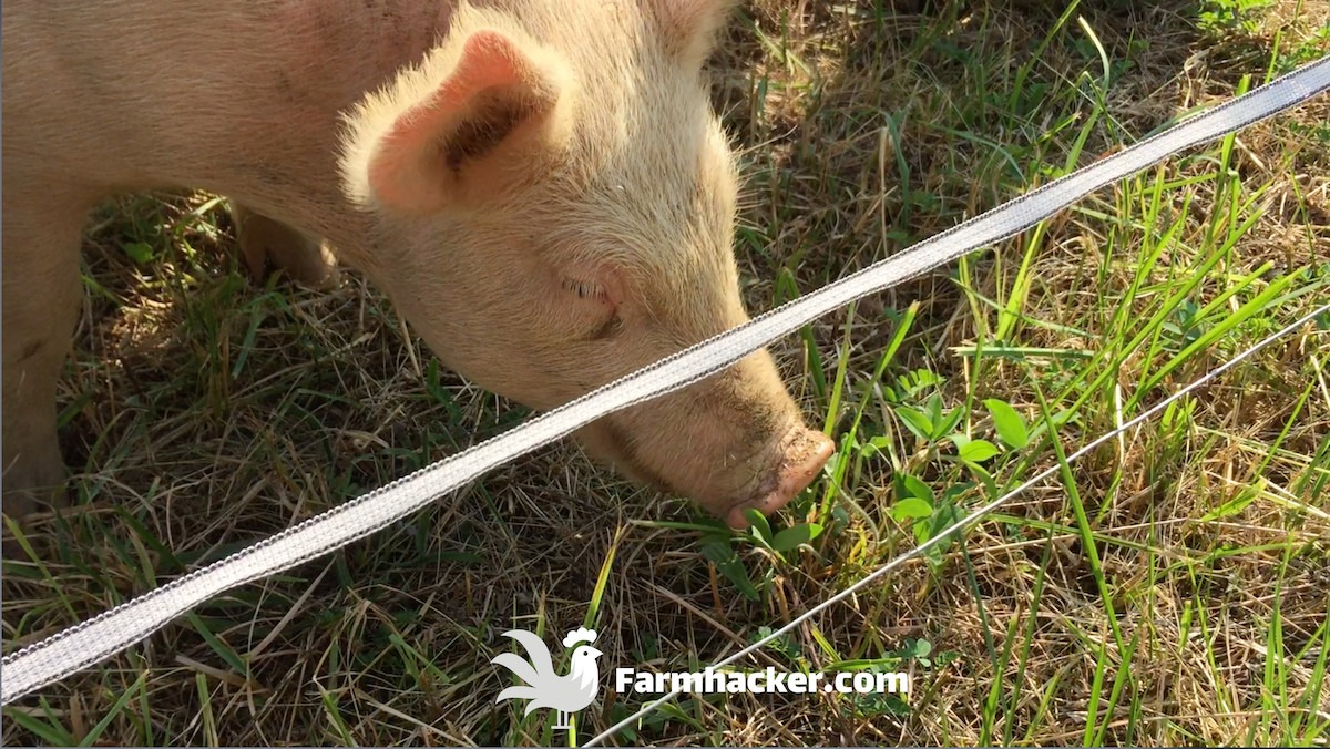 Pigs Next to a Polywire Fence