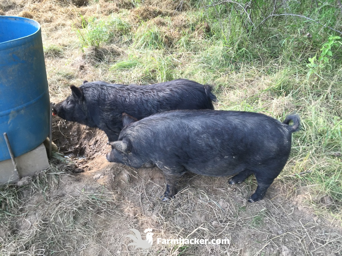 Pigs Drinking From a Pig Waterer