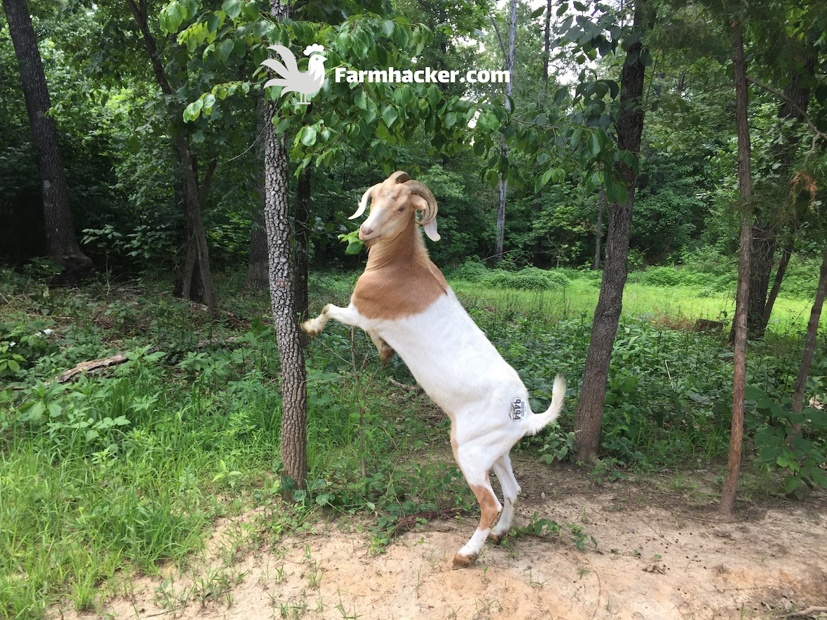Raising Goats: The Complete Guide (2020)