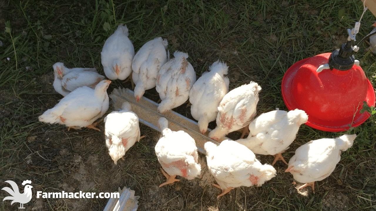 Tray Style Chicken Feeder