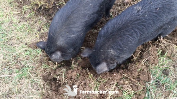 How to Till a Garden Without a Tiller Using Pigs