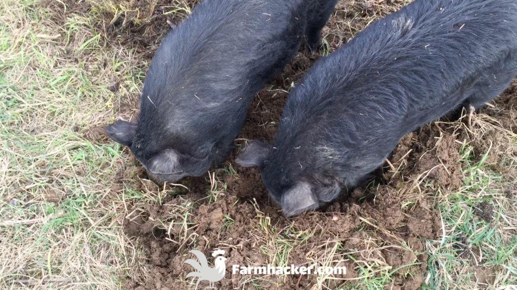 How to Till a Garden Without a Tiller Using Pigs - Pigs Tilling