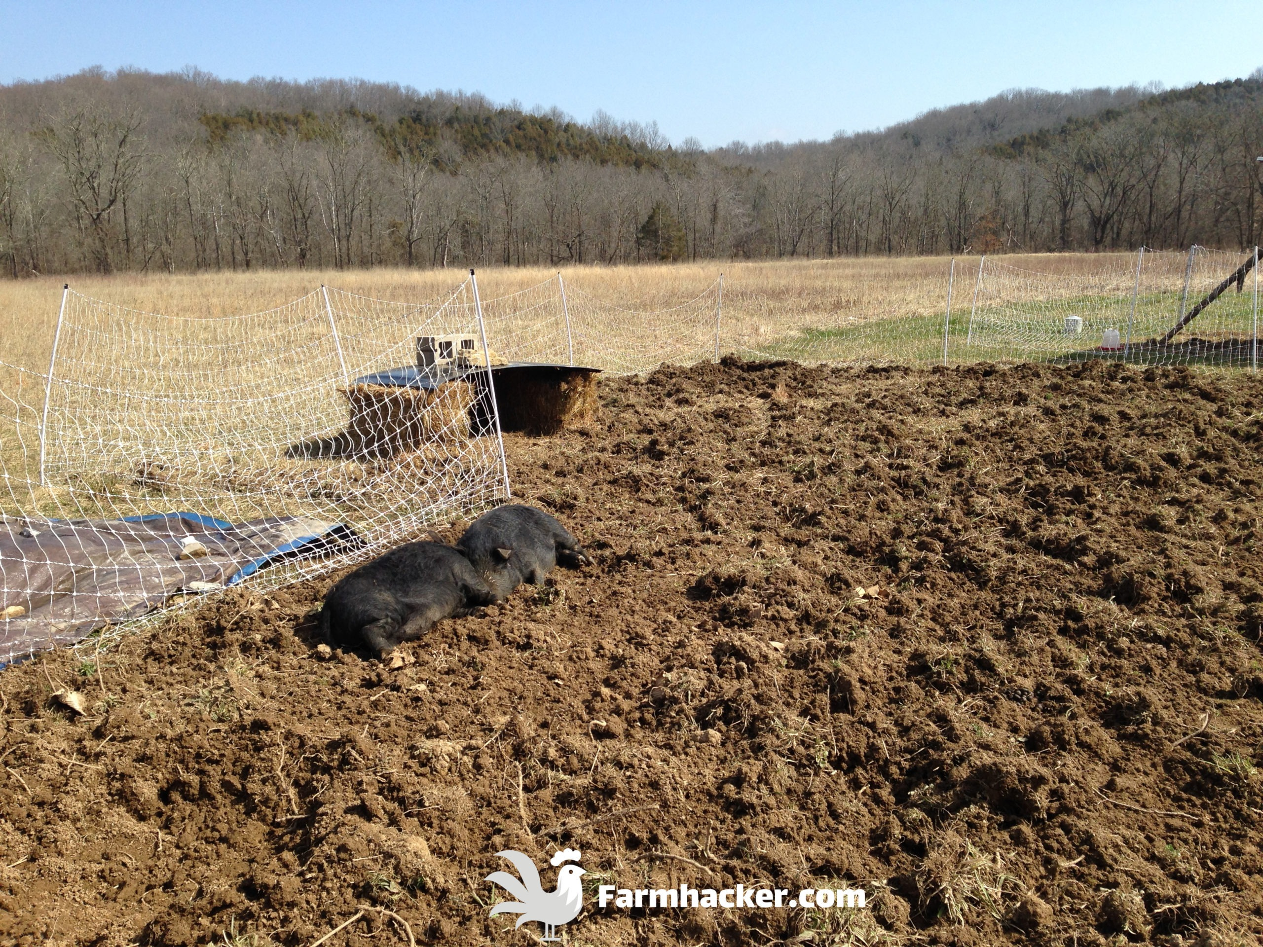 How to Till a Garden Without a Tiller Using Pigs - Setting up for the Pigs