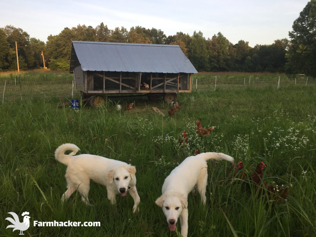 Training Great Pyrenees With Chickens