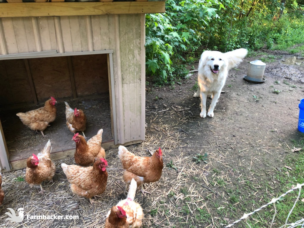Training Great Pyrenees to Guard Chickens