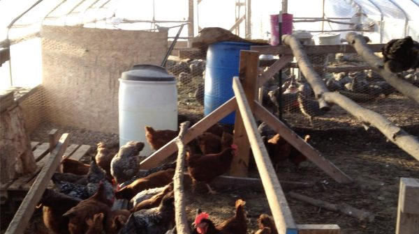 How to Heat a Greenhouse With Chickens and Compost