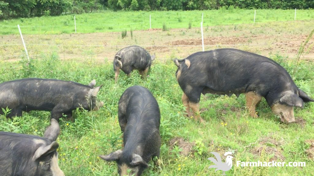 Pasture Pigs Rotational Grazing Paddocks